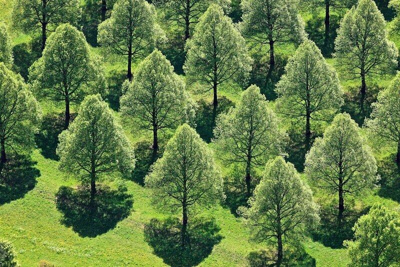 Lindenbaumreihen