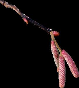 бруньки