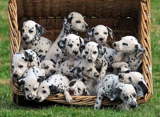Роды и их особенности у собак разных пород