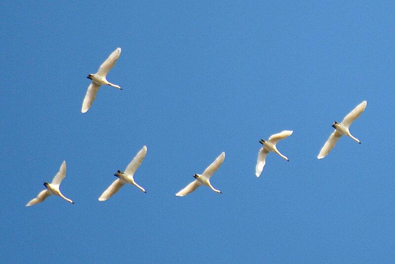 Летят лебеди-кликуны