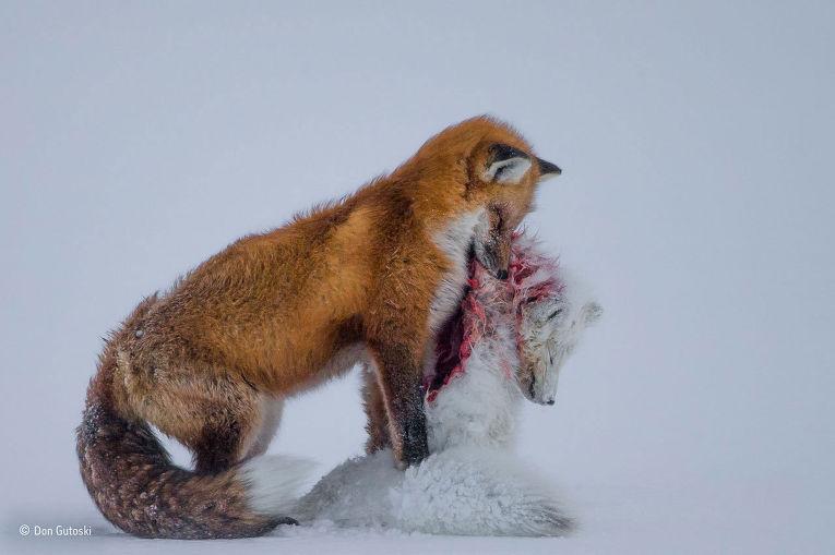 1. Дон Гутовски (Канада), «История двух лисиц». Победитель в категориях «Фотограф дикой природы года
