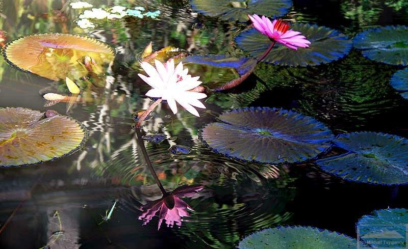 Лилии на Бали