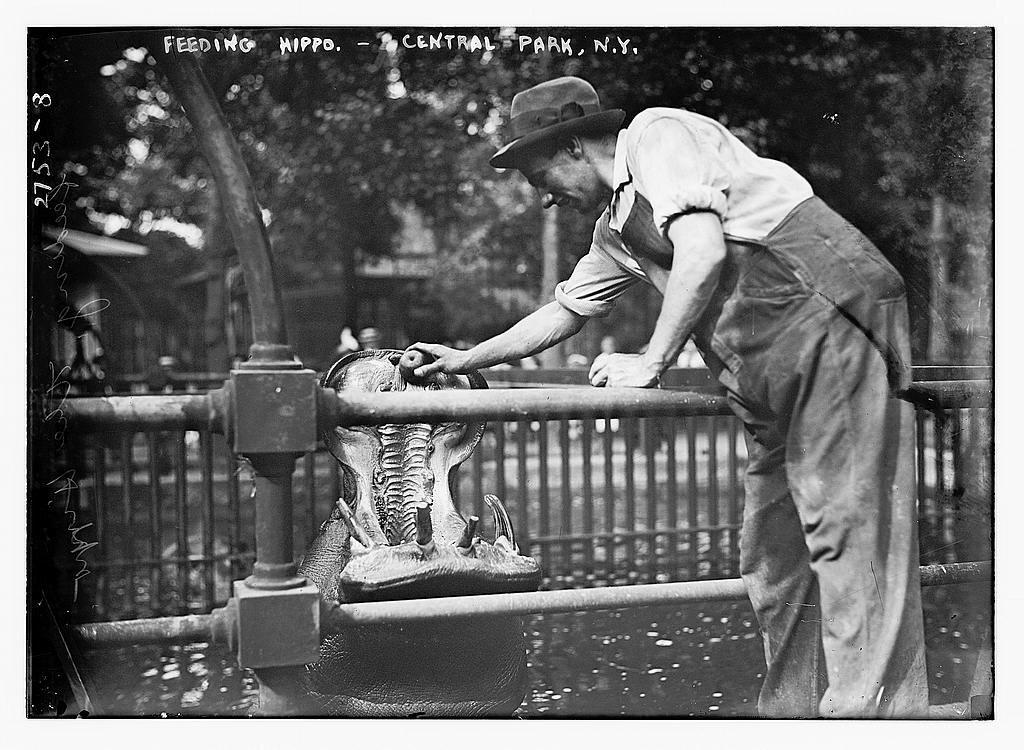 Feeding Hippo, Central Park
