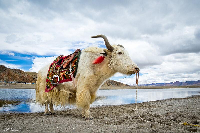 Белый Тибетский Як