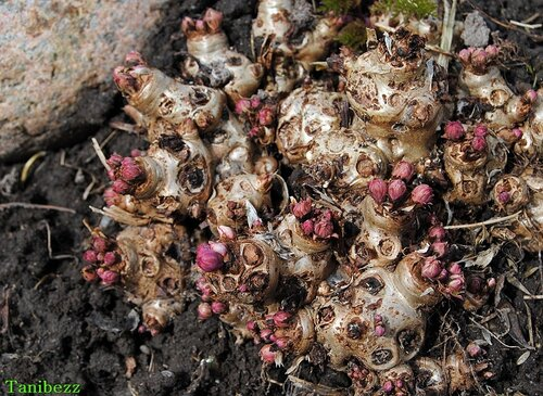 Родиола розовая / Rhodiola rosea
