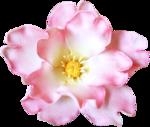 RR_PinkLemonade_Element (80).png