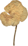 JenU_Flower_DriedAntiquePansie3.png