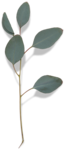 cvd secrets of the heart eucalyptus leaves +S.png