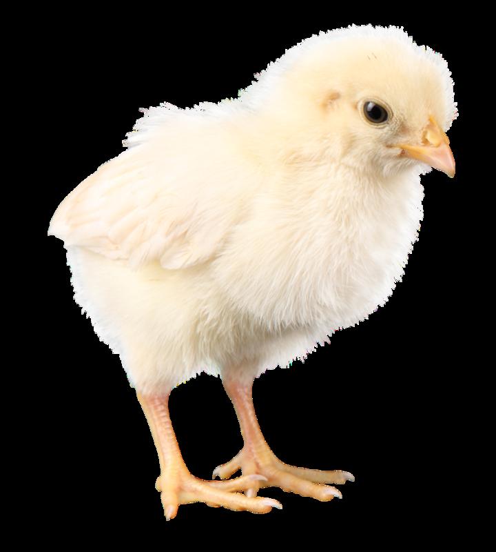 Бройлер цыпленок картинка