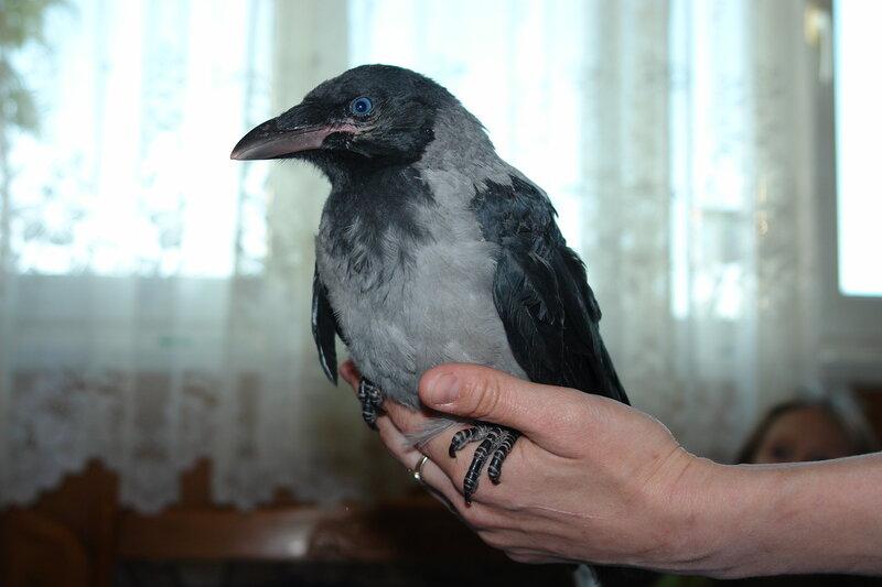 фото птенца вороны