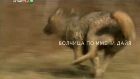 Волчица по имени Дайя