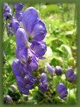 Цветок дамский башмачок