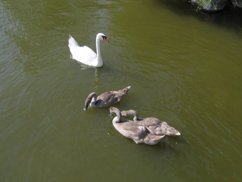 Лебеди в Куршском заливе