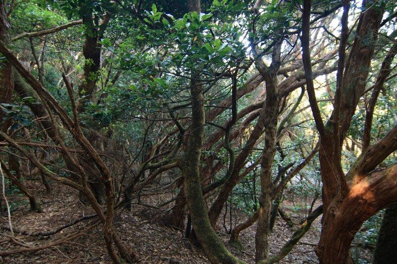 Тенерифе, горы Анага, реликтовые лавровые леса