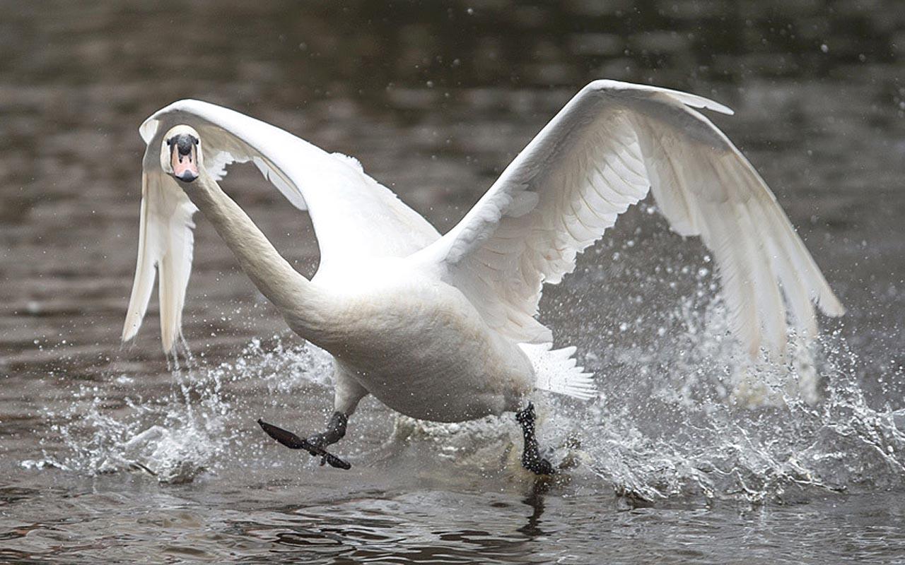 Мы, лебеди, тоже могём по воде яко посуху