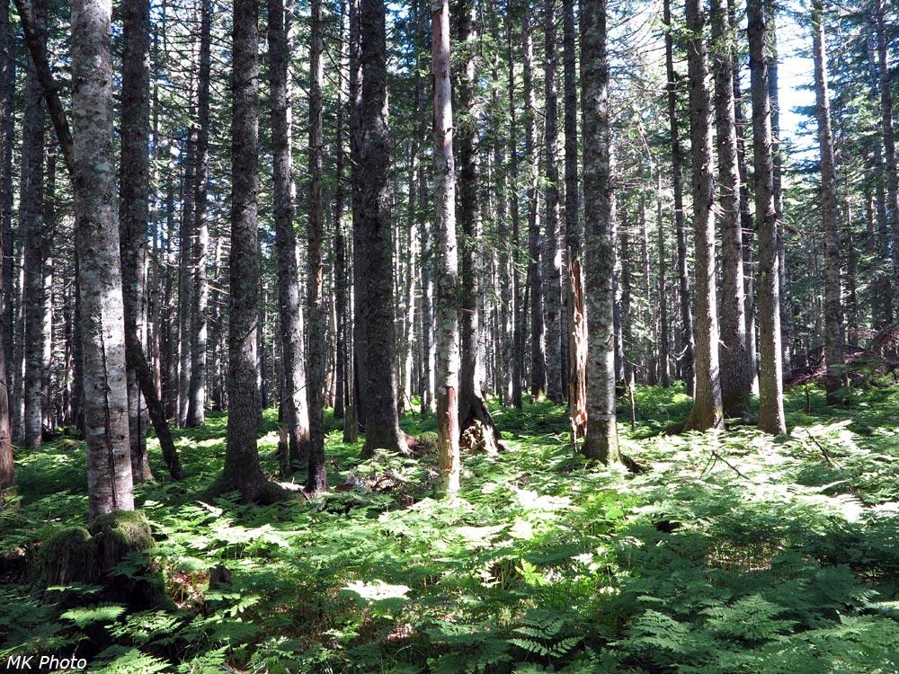 Солнечный пихтовый лес