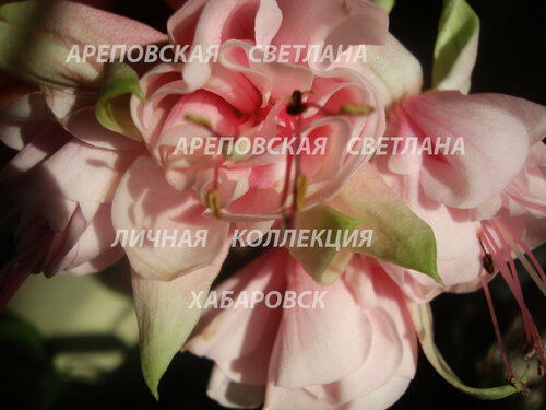 НОВИНКИ ФУКСИЙ. - Страница 5 0_15101e_442cfc05_L