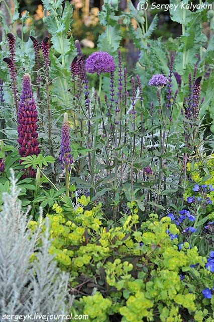 Salvia Caradonna.jpg