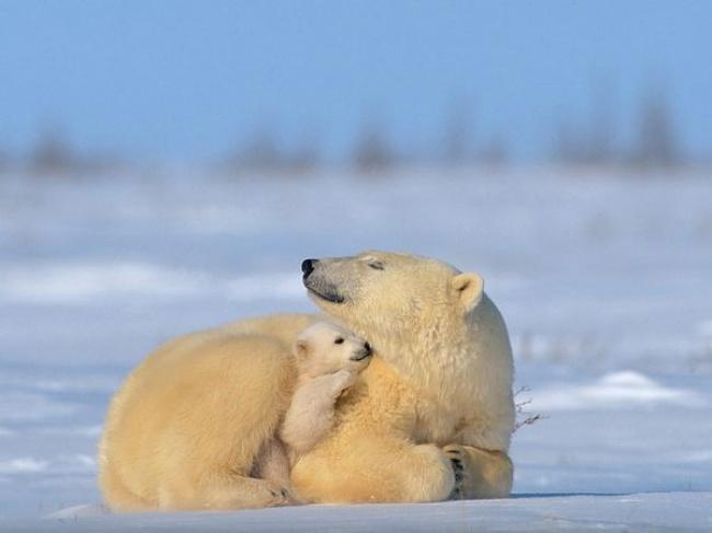 © Norbert Rosing / National Geographic  Мама поддержит всамых трудных начинаниях