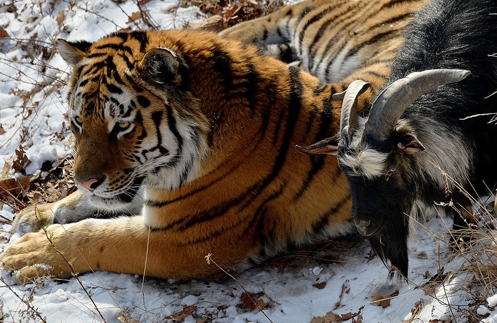 16. Через некоторое время между животными завязались приятельские отношения. Козел принял тигра