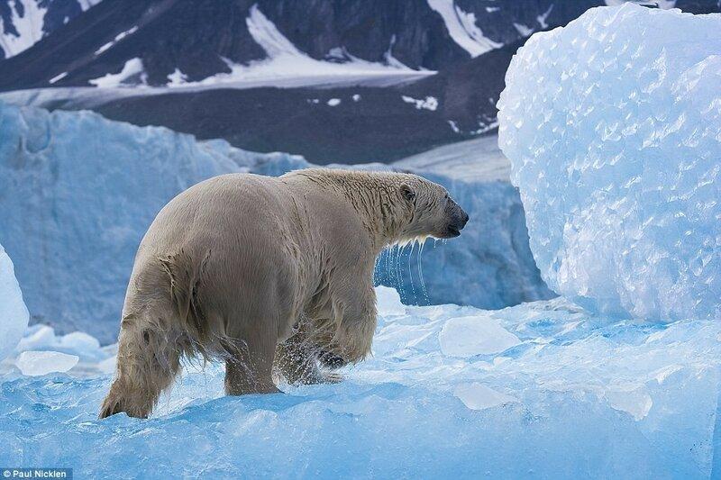Белый медведь в Арктике. Во время командировки в Арктику по заказу National Geographic канадский фотограф и полярный биолог Пол Никлен имел возможность понаблюдать за тысячами белых медведей.