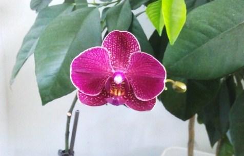 Второе  цветение  орхидеи. 4 июня 2016. Куплена  8  марта.
