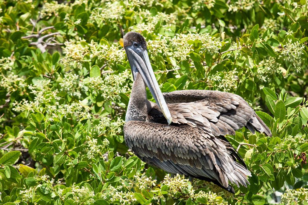 Американский бурый пеликан (Pelecanus occidentalis urinator)