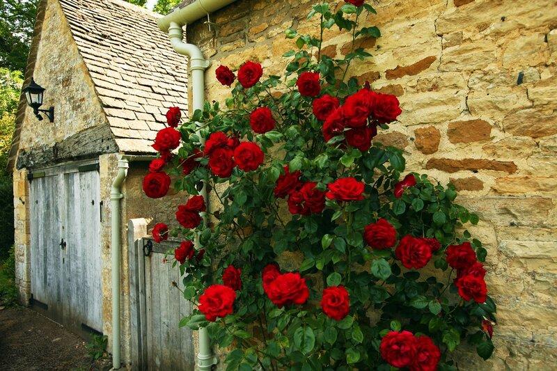 Плетистая роза голден клаймбер 5