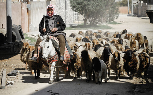 A farmer drives his flock through the middle of rebel positions