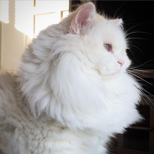 Спасенный котенок превратился вогромный пушистый шар