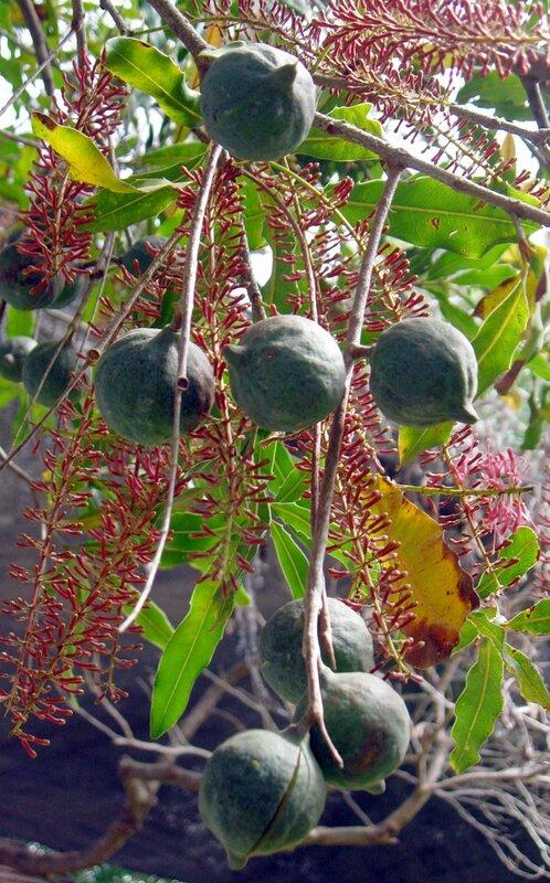Орехи макадамия-самые дорогие в мире