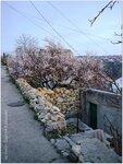 Цветущий абрикос на нижней террасе