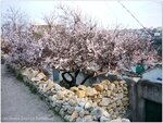 Цветущий абрикос на нижней террасе (2)
