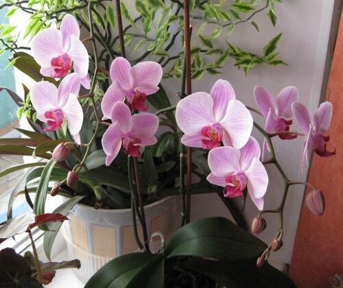 орхидея 3 сезон