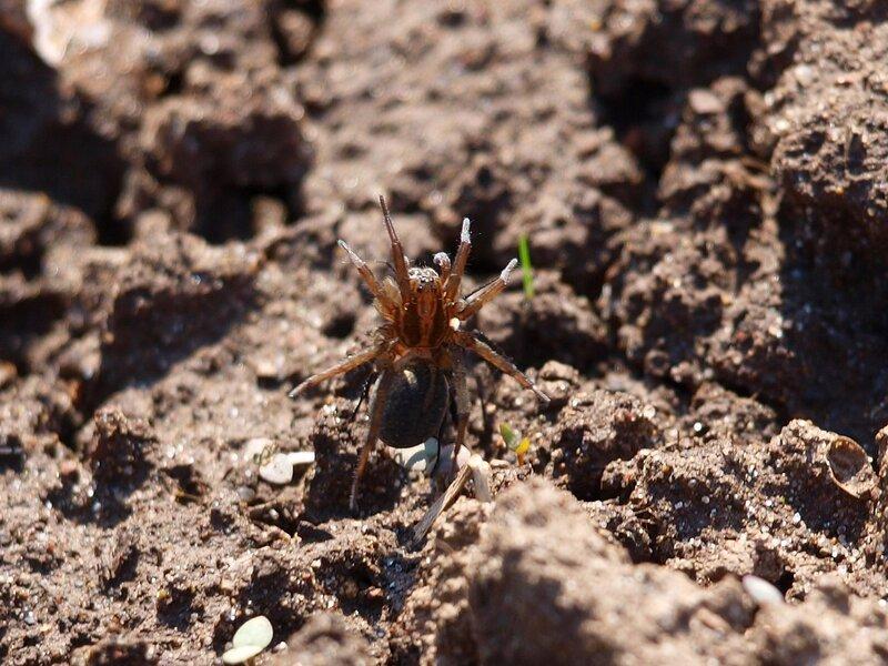 Вальс (земляная оса тащит парализованного паука)