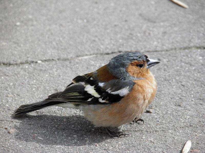 Как называется птица с красной грудкой Где обитает