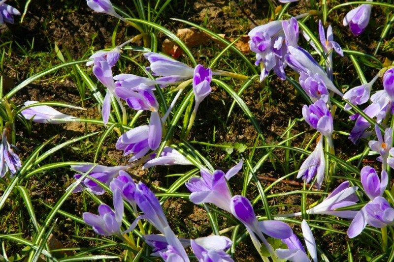 Крокусы - нежные цветы под северным ветром