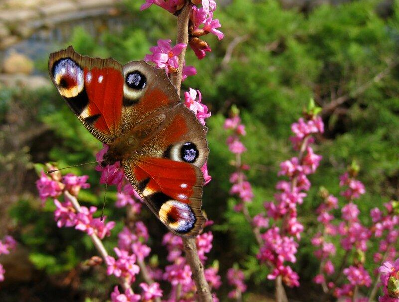 Бабочка на волчеягоднике