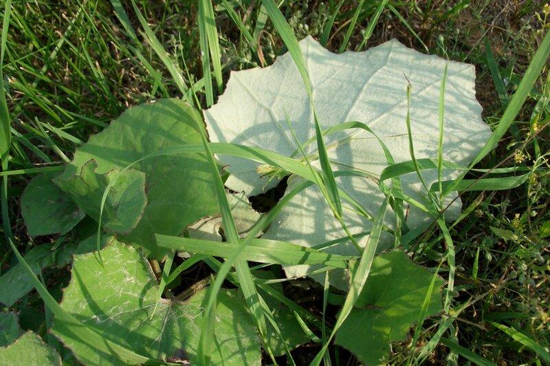 Холодная (верхняя) и теплая (нижняя) сторона листьев мать-и-мачехи