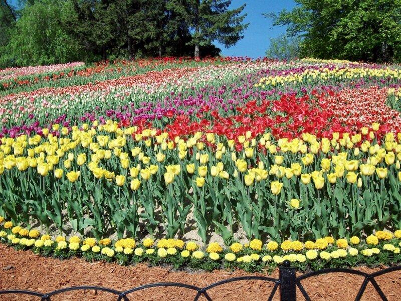 Желтые тюльпаны на склоне Певческого поля
