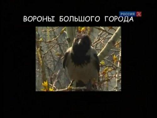 Страна птиц. Вороны большого города
