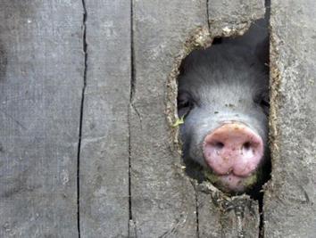 Свинья.jpg