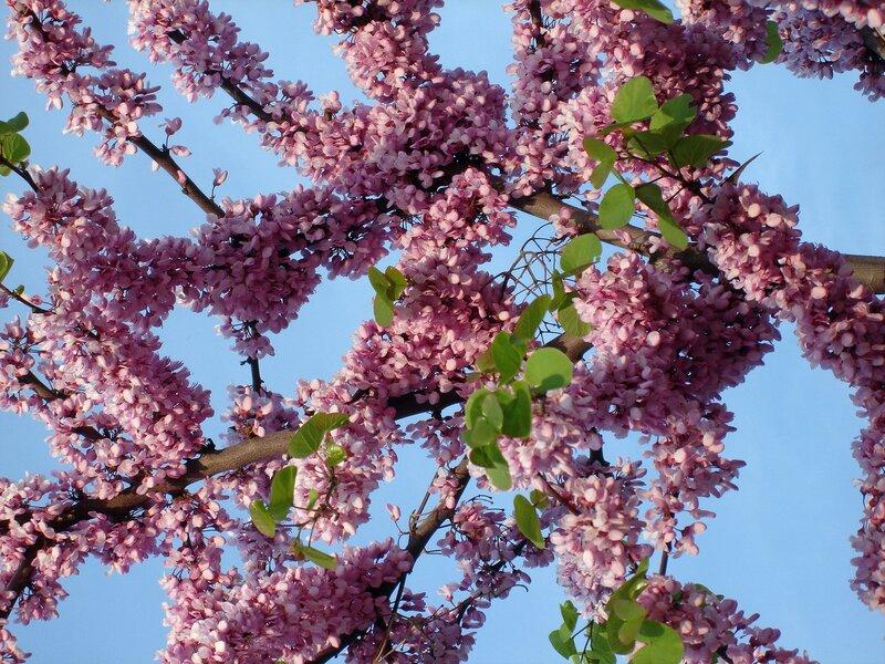 Весна,Крым,Южный берег,иудино дерево