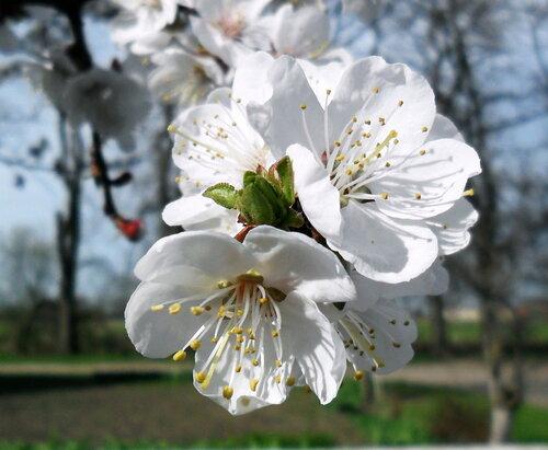 Пора цветения