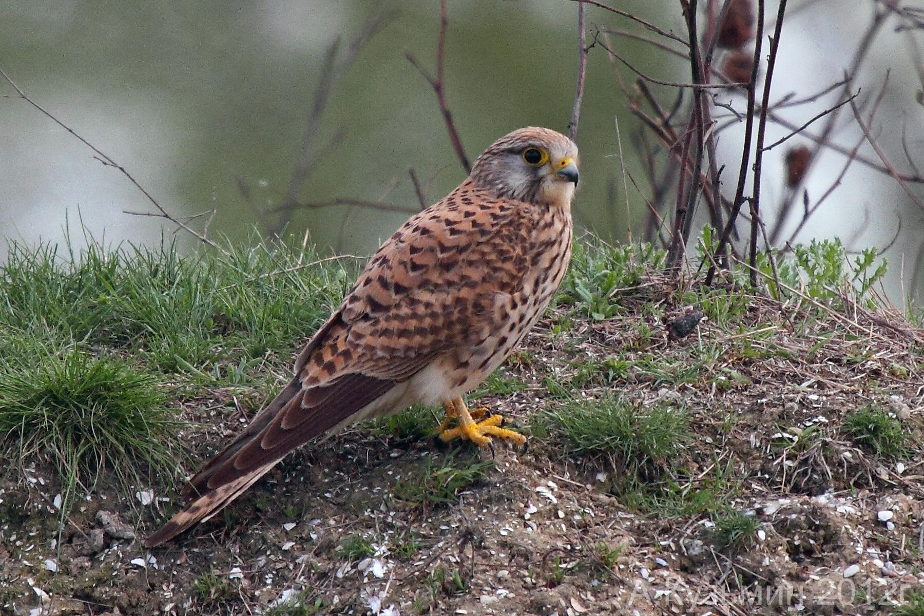 Пустельга (Falco tinnunculus)