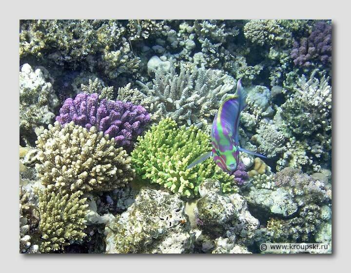 Яркие обитатели Красного моря: kolyaseg — LiveJournal