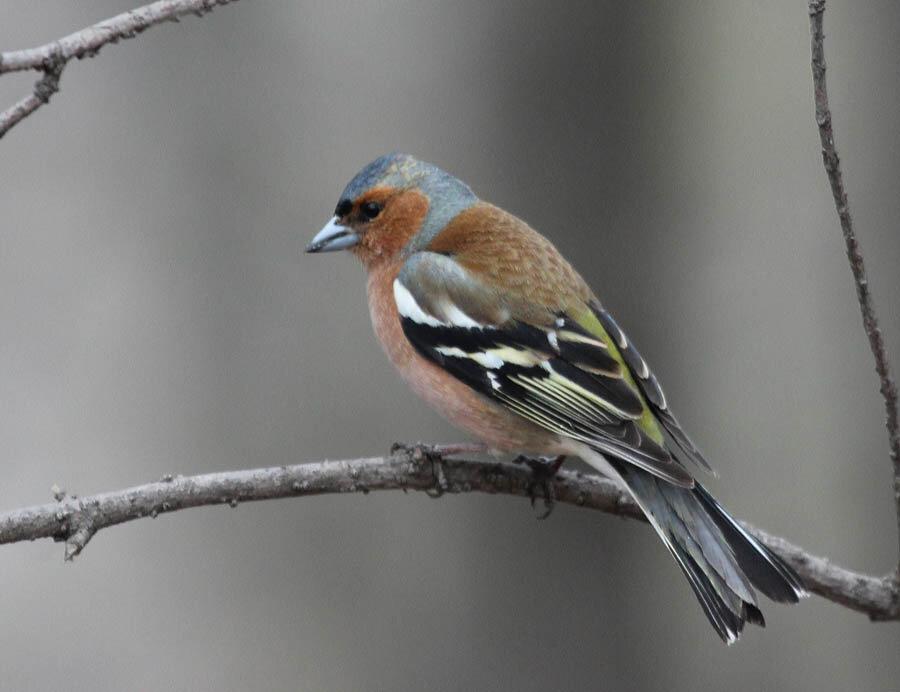 птица хохлатка