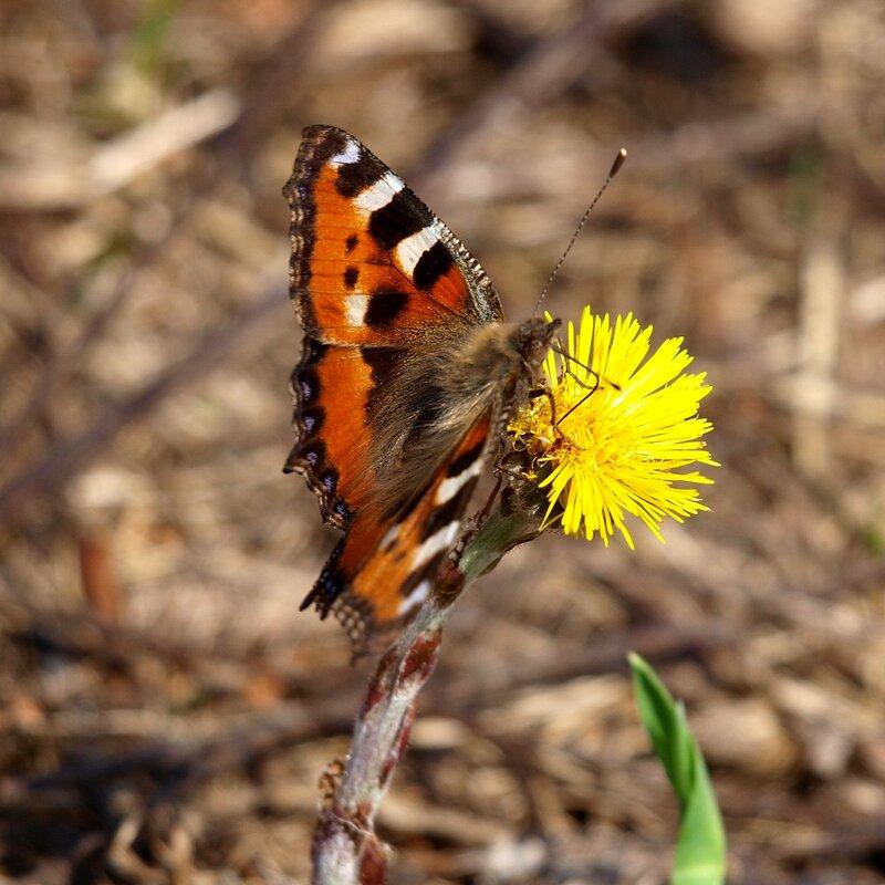 бабочка на мать-и-мачехе