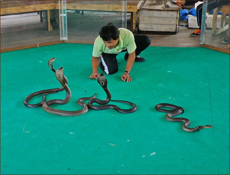 Шоу с кобрами