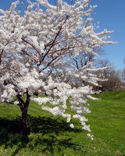 Цвет вишни.